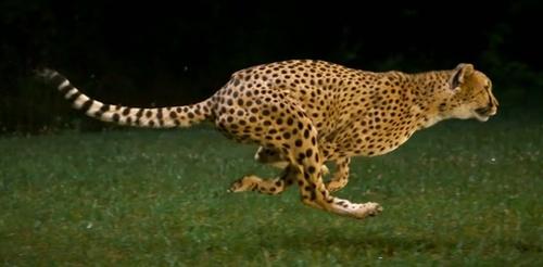 cheetahs_on_the_edge