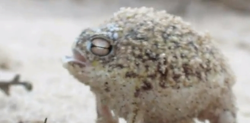 cutest_desert_rain_frog