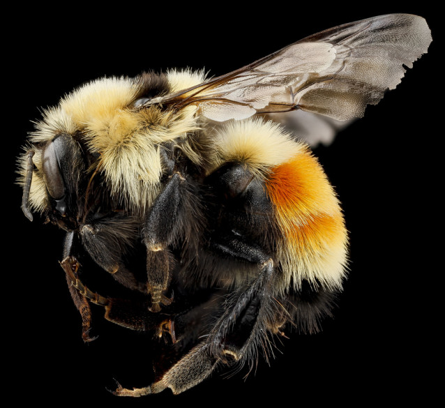 USGS_bees_08