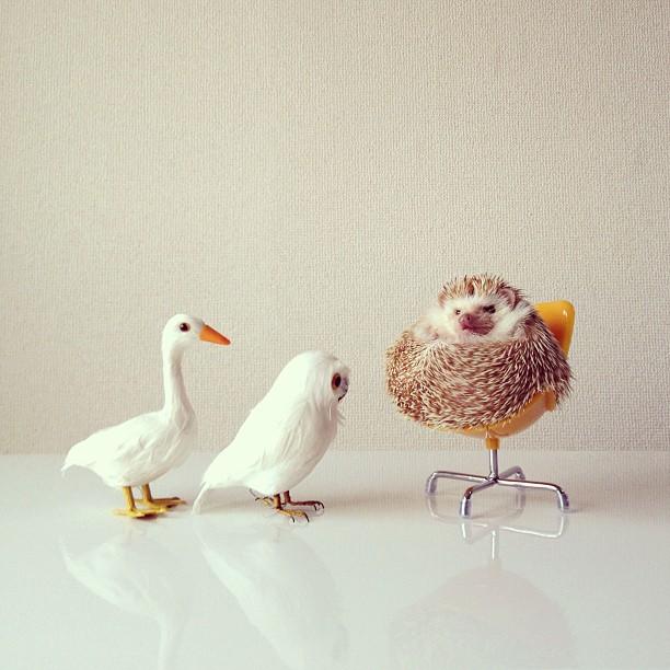 Darcy_hedgehog_01