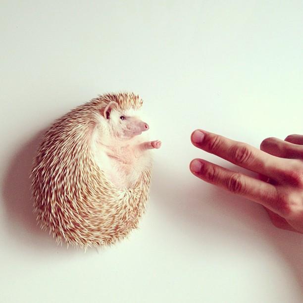 Darcy_hedgehog_03