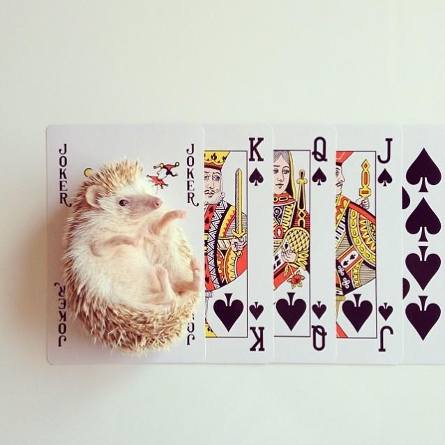 Darcy_hedgehog_08